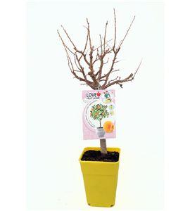 Albaricoquero Enano Garden Aprigold 5l - 03055001 (1)