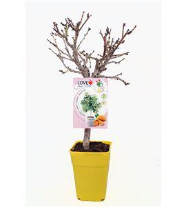 Almendro Enano Garden Prince 5l - 03055002 (1)