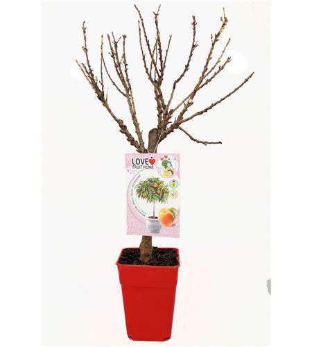 Melocotonero Enano Amber 5l - Prunus persica - 03055006 (1)