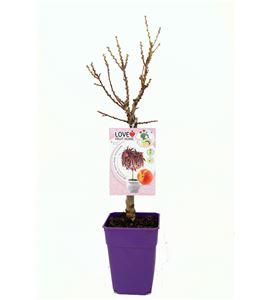 Melocotonero Enano Crimson Bonfire 5l - Prunus persica - 03055007 (1)