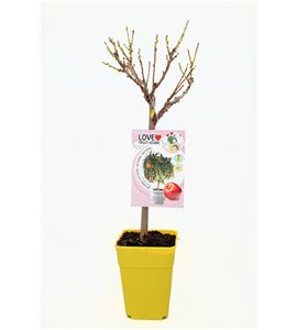 Nectarino Enano Garden Beauty 5l - Prunus persica var.Nucipersica - 03055008 (1)