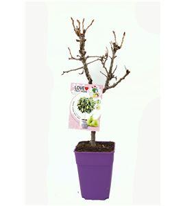 Peral Enano Garden Pearl 5l - 03055009 (1)