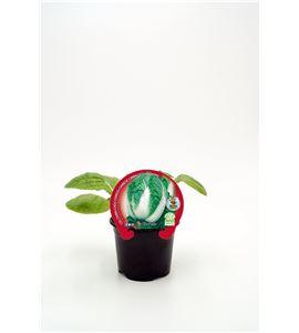 Col China M-10,5 Brassica pekinensis - 02025081 (1)