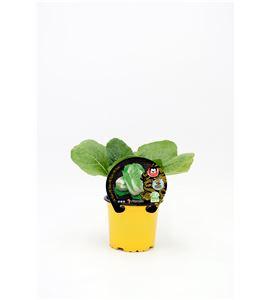 Pe-Tsai M-10,5 ECO Brassica pekinensis - 02027001 (1)