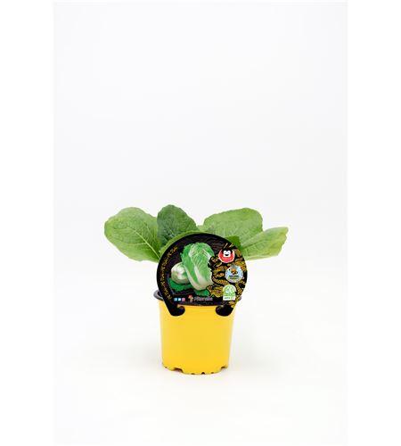 Pe-Tsai M-10,5 Brassica pekinensis - 02027001 (1)