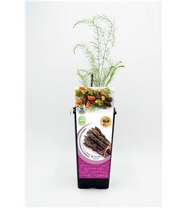 Espárrago Violeta 2l ECO Asparagus officinalis - 02040008 (1)