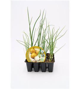 Justo de tamaño Pack Cebolla Babosa 12 Ud. Allium cepa - 02031026 (1)
