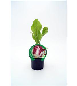 Achicoria Roja M-10,5 Cichorium intybus - 02025085 (1)