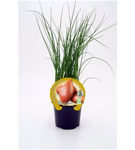 Chalota M-10,5 ECO Allium ascalonicum - 02025105 (1)