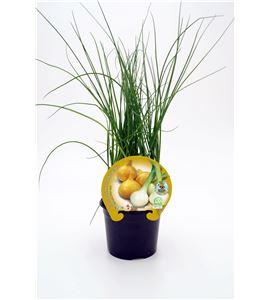 Justo de tamaño ´Cebolla Babosa M-10,5 Allium cepa - 02025066 (1)