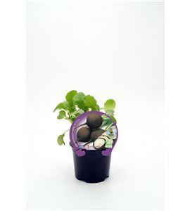 Rábano Negro M-10,5 ECO Raphanus sativus - 02025152 (1)