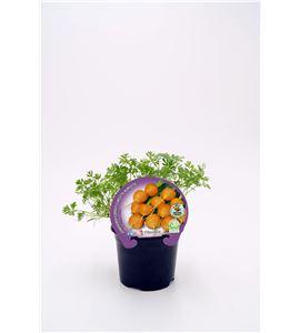 Zanahoria París M-10,5 Daucus carota - 02025127 (1)