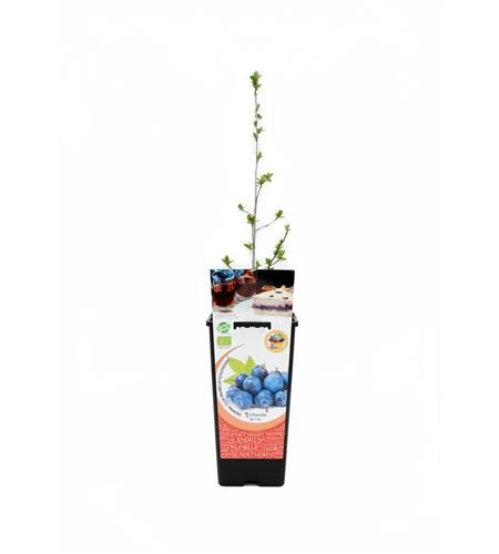 Endrino 2l Prunus spinosa - 02040015