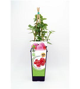 Grosella Roja 2l Ribes rubrum - 02040002 (1)