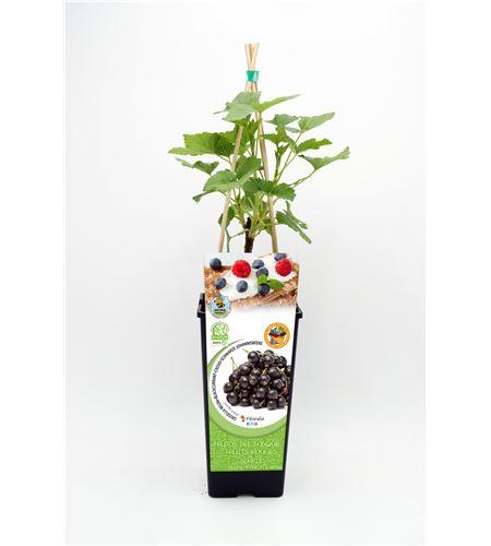 Grosella Negra 2l Ribes nigrum - 02040003 (1)