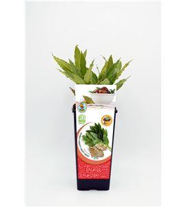 Laurel 2l Laurus nobilis - 02040009 (1)