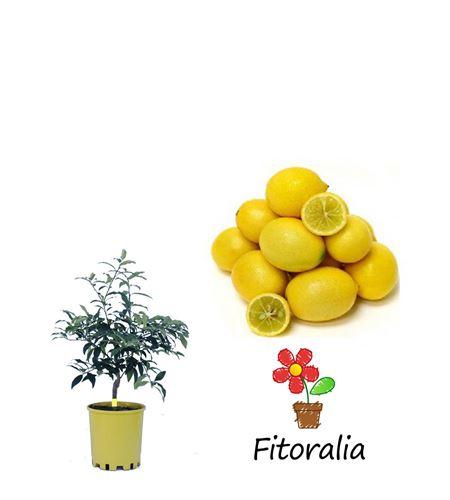 Limequat 5L (M-20) - Citrofortunella × floridana - 03051024 (0)