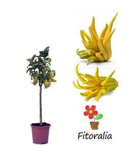 Cidro digitado - Mano de Buda 10 l (M-25) - Citrus medica - 03051016 (0)