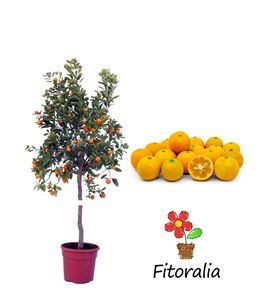 Calamondin 10 l (M-25) - Citrofortunella microcarpa - 03051001 (0)