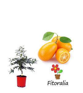 Kumquat 5 l (M-22) - Fortunella margarita - 03051002 (0)