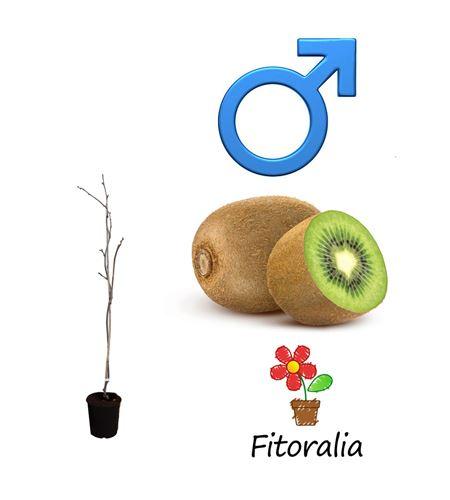 Kiwi Macho - Actinidia deliciosa - 03050023 (0)