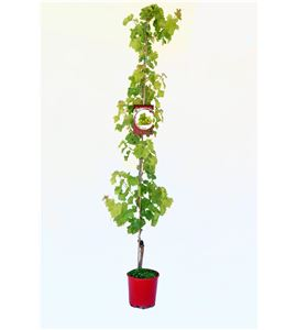 Parra Sultanina Seedless M-25 - Vitis vinifera - 03054063 (1)