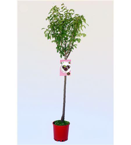 Ciruelo Black Amber M-25 - Prunus domestica - 03054056 (1)
