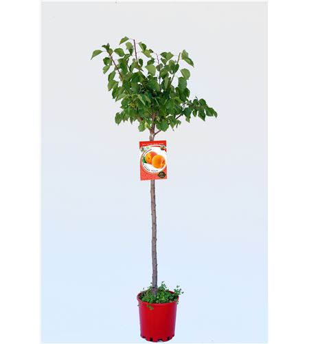 Albaricoque Galta Roja M-25 - Prunus armeniaca - 03054048 (1)