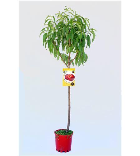 Nectarina Big Top M-25 - Prunus persica var.Nucipersica - 03054060 (1)