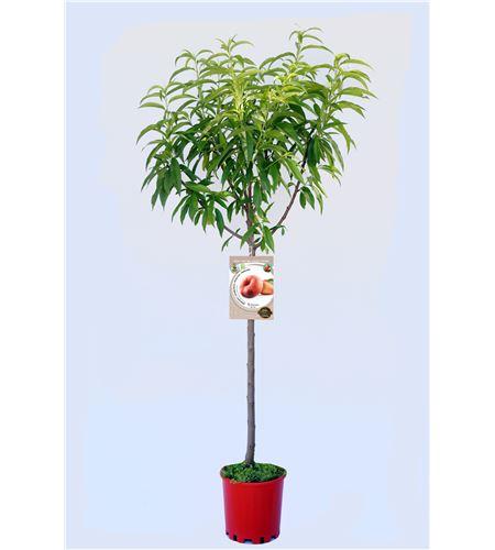 Melocotón Paraguayo Delfín M-25 - Prunus persica var. Platycarpa - 03054062 (1)