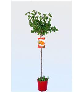 Albaricoque Bulida M-10,5 - Prunus armeniaca - 03054047 (1)