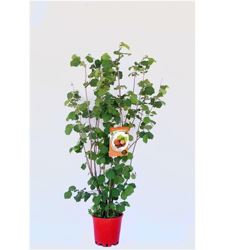 Avellano Negreta M-25 - Corylus avellana - 03054003 (1)