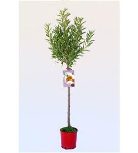 Almendro Ferragnés M-25 - Prunus dulcis - 03054005 (1)