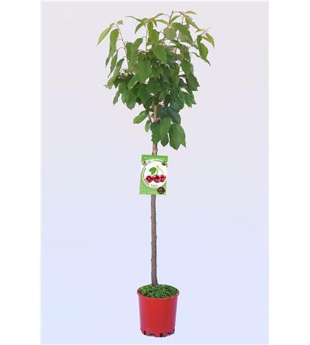 Cerezo Burlat M-25 - Prunus avium - 03054006 (1)