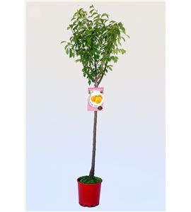 Ciruelo Golden Japan M-25 - Prunus domestica - 03054011 (1)