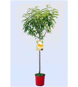 Melocotón A. de Calanda M-25 - Prunus persica - 03054014 (1)