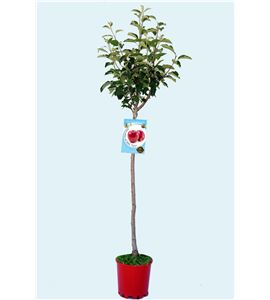 Manzano Top Red M-25 - Malus domestica - 03054018 (1)