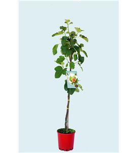 Higuera Coll de Dama Blanca M-25 - Ficus carica - 03054031 (1)