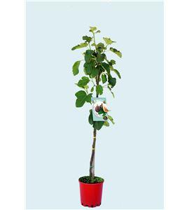 Higuera Coll de Dama Negra M-25 - Ficus carica - 03054032 (1)