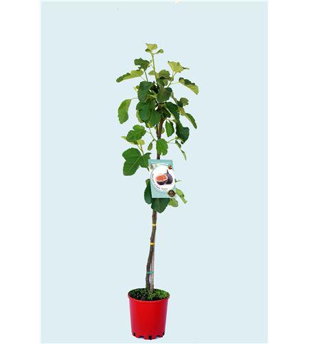 Higuera Breva M-25 - Ficus carica - 03054033 (1)