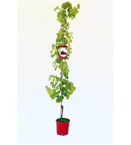 Parra Flame Seedless M-25 - Vitis vinifera - 03054044 (1)
