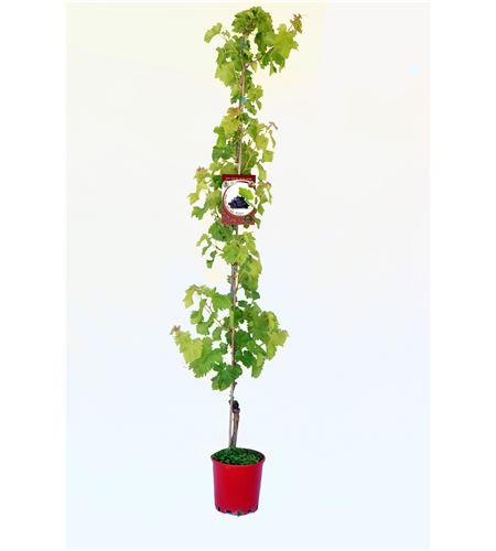 Parra Auntumn Black M-25 - Vitis vinifera - 03054046 (1)