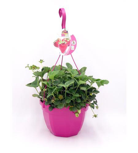 AirGarden Fresas Fragaria × ananassa - 02044001 (0)