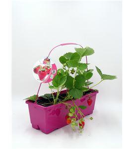 TriOh! Fresas Fragaria × ananassa - 02045001 (0)