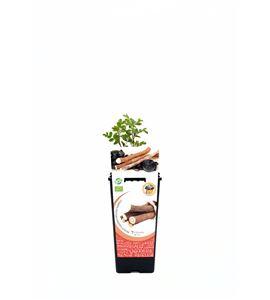 Regaliz 2l Glycyrrhiza glabra - 02040014