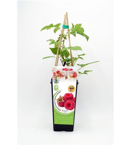 Frambuesa 2l Rubus idaeus - 02040001 (1)