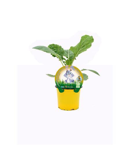Col Forrajera Especial Conejos M-10,5 Brassica acephala - 02039001 (1)