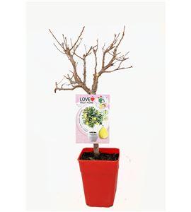 Ciruelo Enano Goldust 5l - Prunus domestica - 03055004 (1)