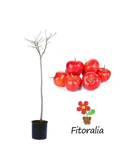Acerolo - Crataegus azarolus - 03050002 (0)