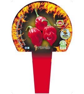 Cartel Piruleta Fuego Habanero Rojo - 23550007 (1)